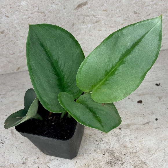 Scindapsus treubii 'Moonlight' Plant